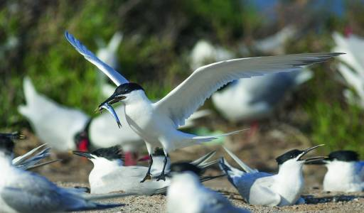 Sternes caugek (Thalasseus sandvicensis) / Sandwich terns