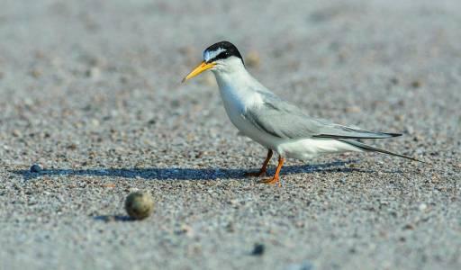 Sterne naine (Sternula albifrons) / Little tern