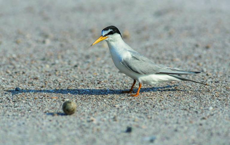 P. Aguilar Sterne Naine (Sternula Albifrons) / Little Tern