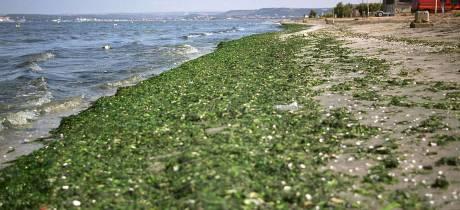 Echouage d'algues vertes (ulves) au Jaï