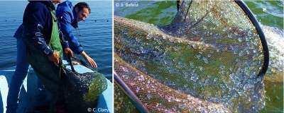 Figure 4. Colmatage de filets de pêche par Mnemiopsis leidyi
