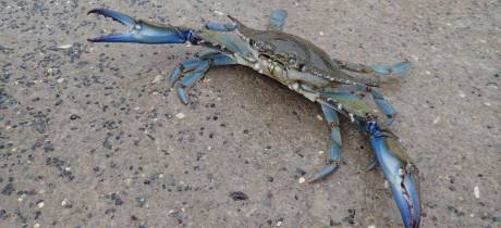 Le crabe bleu, un nouvel envahisseur ?