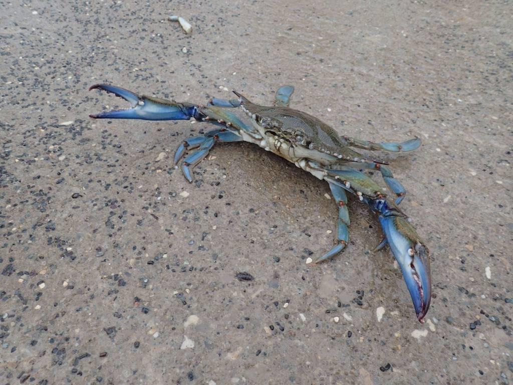 crabe bleu dans l'étang de Berre